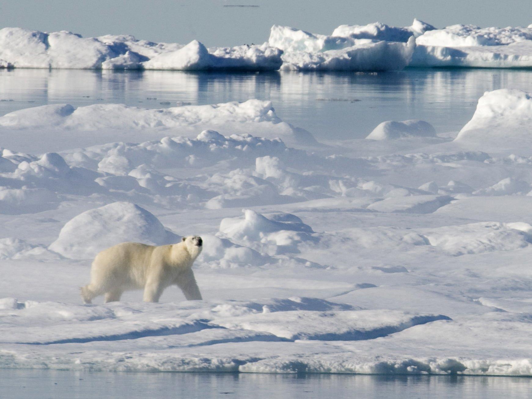 Das Eis für diesen Eisbären wird wohl weiter schmelzen.