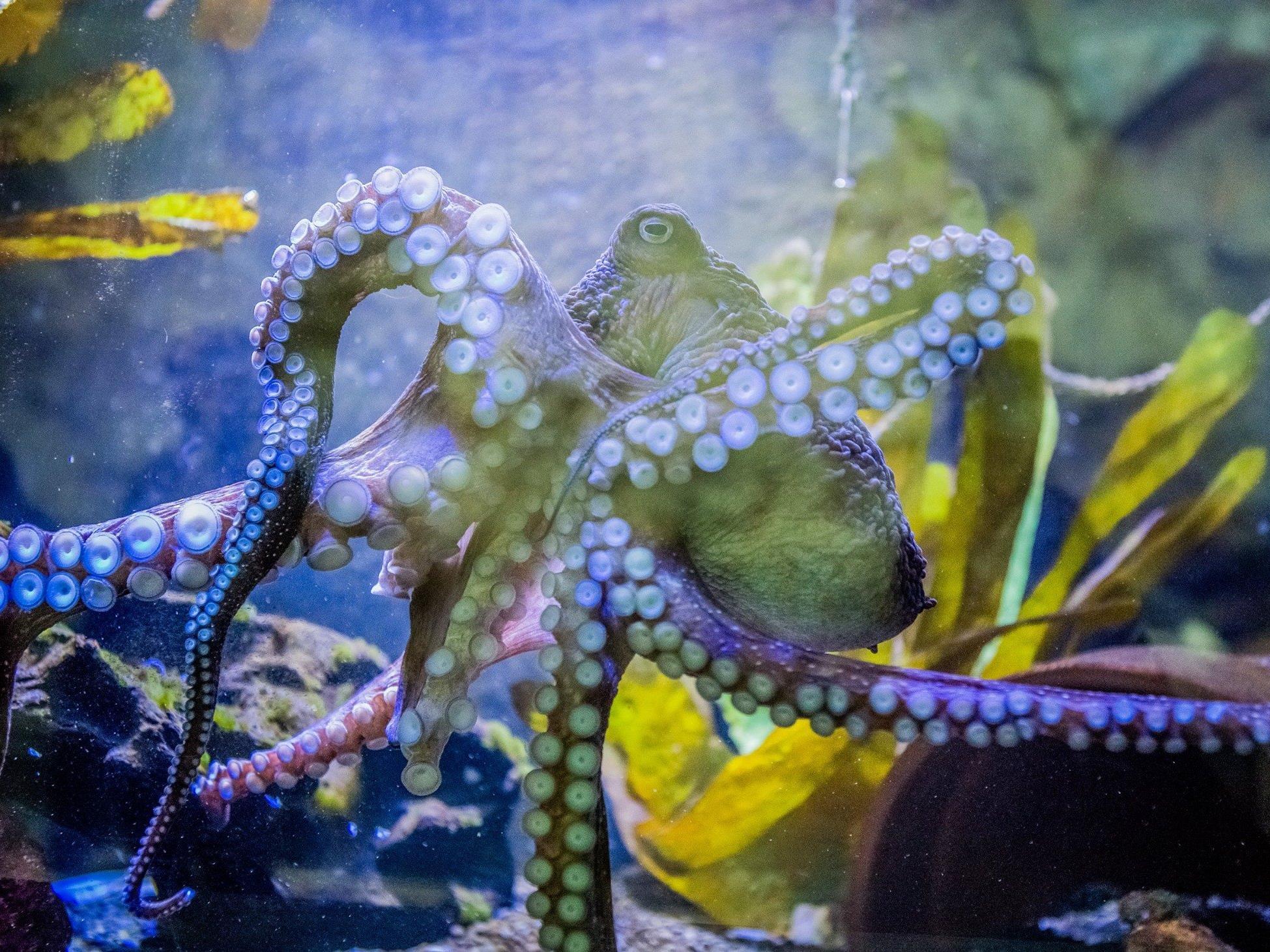 """Houdini"": Oktopus ""Inky"" floh aus Aquarium ins offene Meer"
