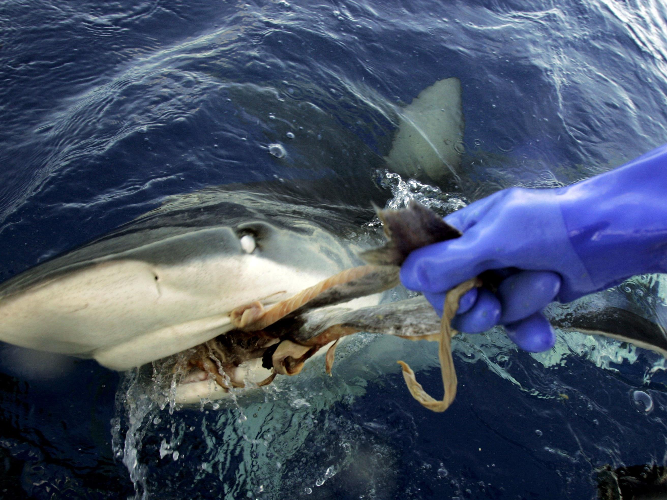 Hai-Alarm auf Mallorca.