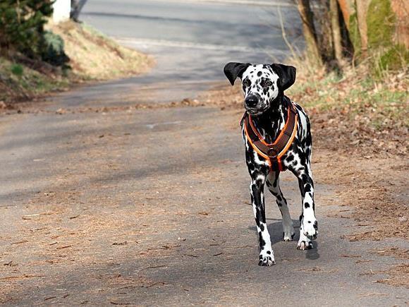 Ein Dalmatiner-Mischling musste in eine Tierklinik gebracht werden, weil er Rasierklingen-Köder gefressen hatte