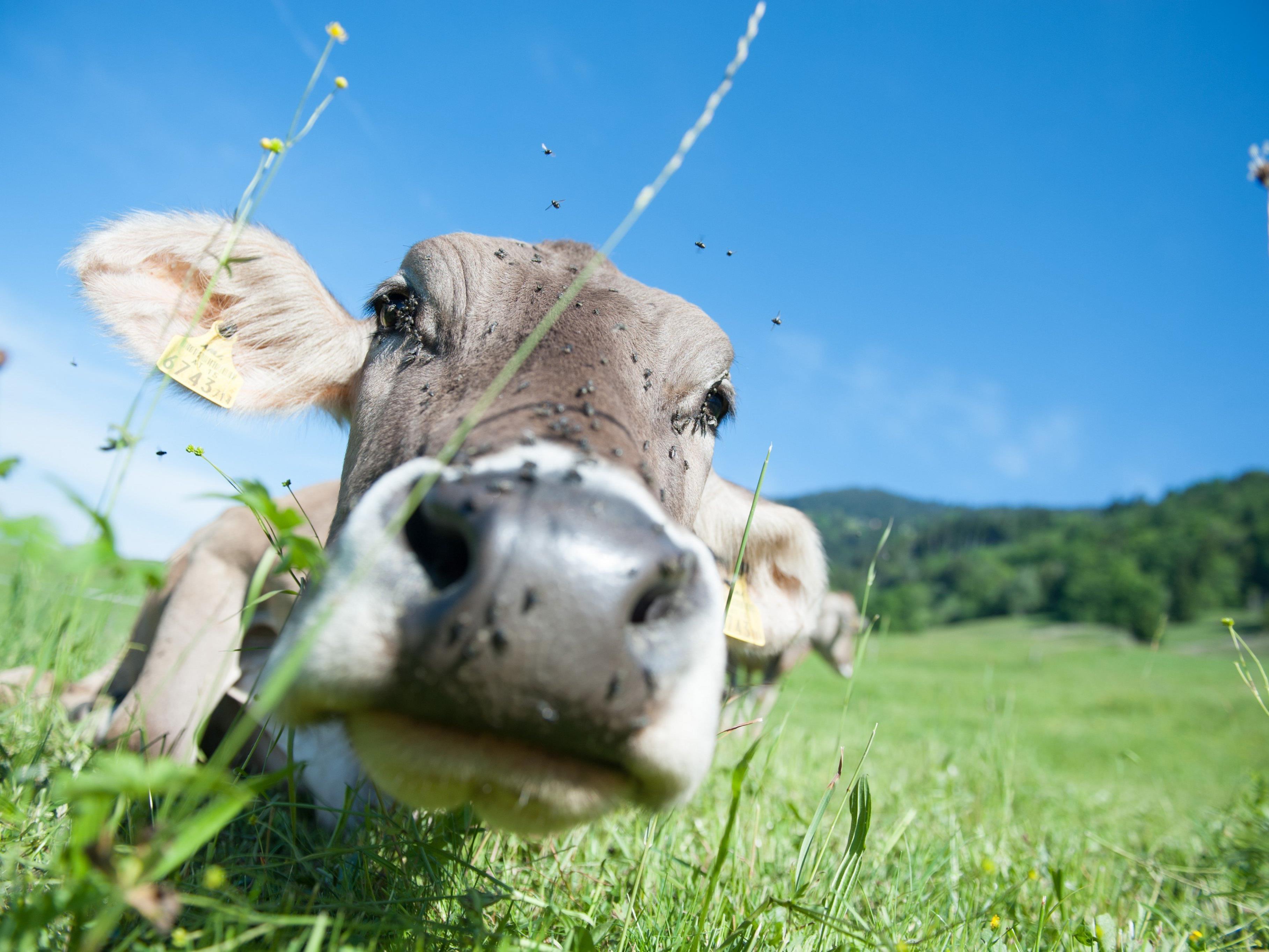 Nachtruhe auf Weide: Schweizer Gericht verbietet Kuhglocken.