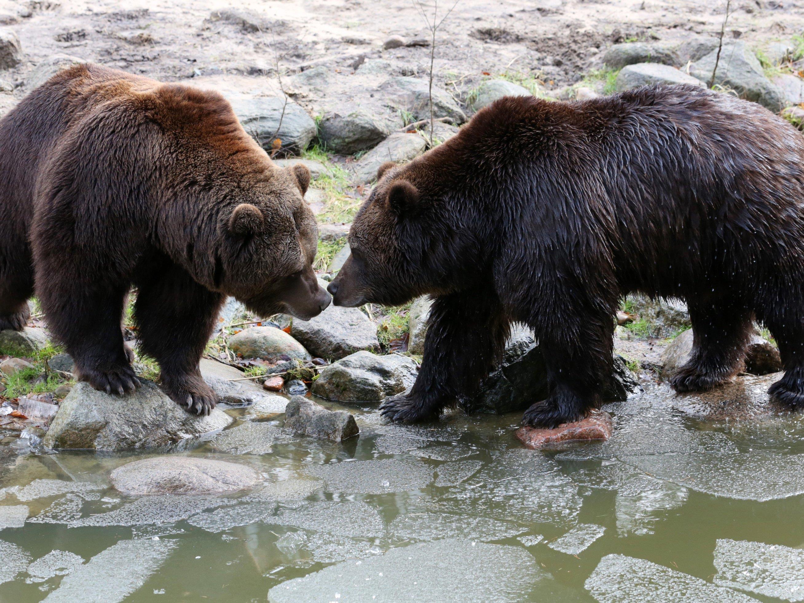 Bären haben eine enorme Kraft.