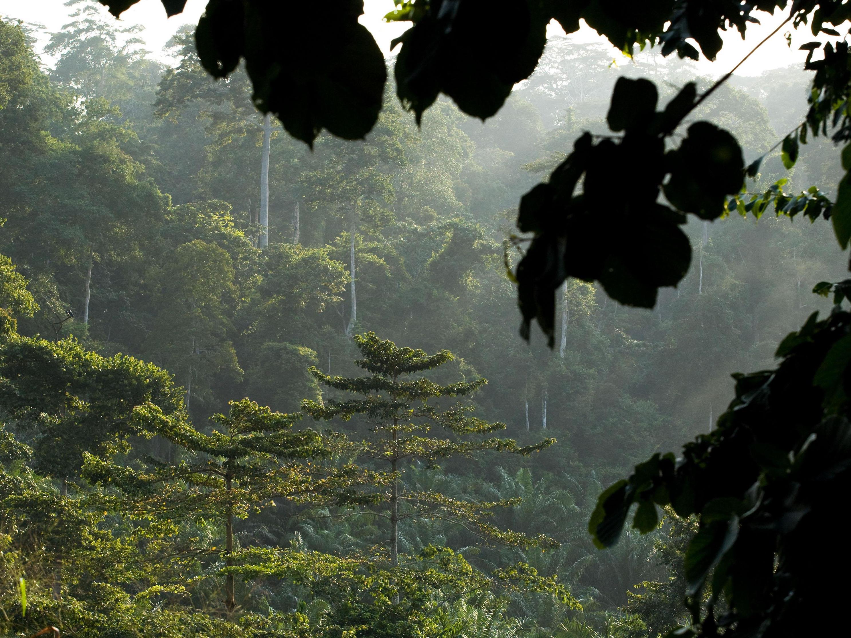 In Malaysia wurde ein 89,5 Meter hoher Tropenbaum entdeckt.