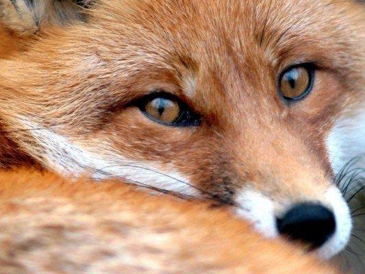 Begegnung mit einem Hund endete für Fuchs tödlich