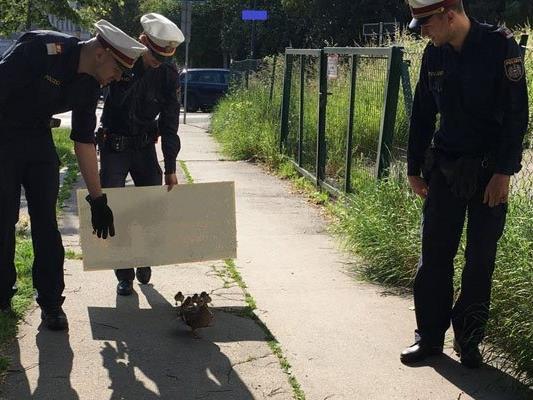 Eine Entenfamilie wurde in Wien-Döbling in Sicherheit geleitet