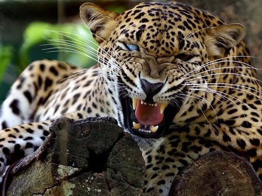 Ein Leopard griff in Mexiko einen Tierpfleger an, ein Tiger stellte sich der Raubkatze in den Weg. (Symbolbild)
