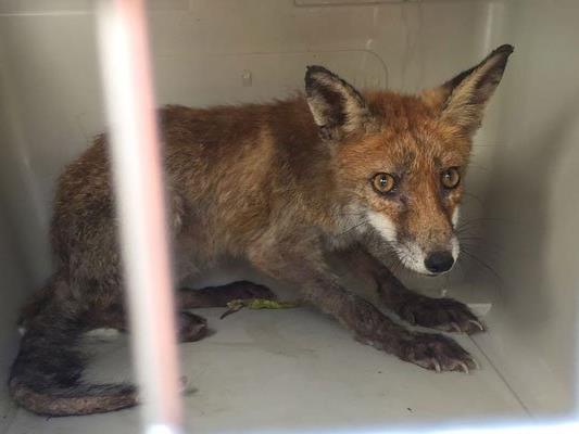 Der junge Fuchs war dem Mann bis zur Türe gefolgt.