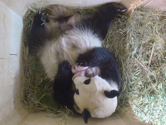 Freude im Tiergarten in Wien über die Zwillinge.