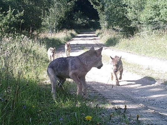 Die erste Wolfsfamilie in Österreich seit über einem Jahrhundert wurde nun gesichtet.