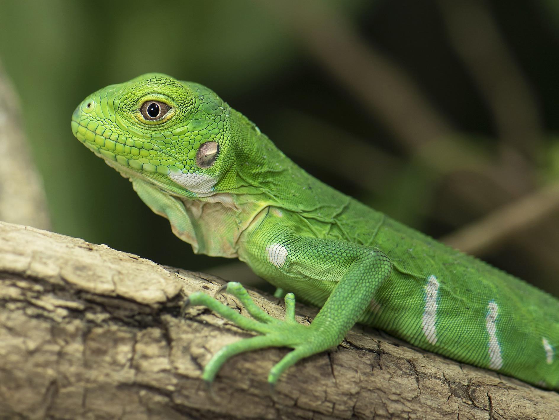 Eines der Antillenleguan-Jungtiere