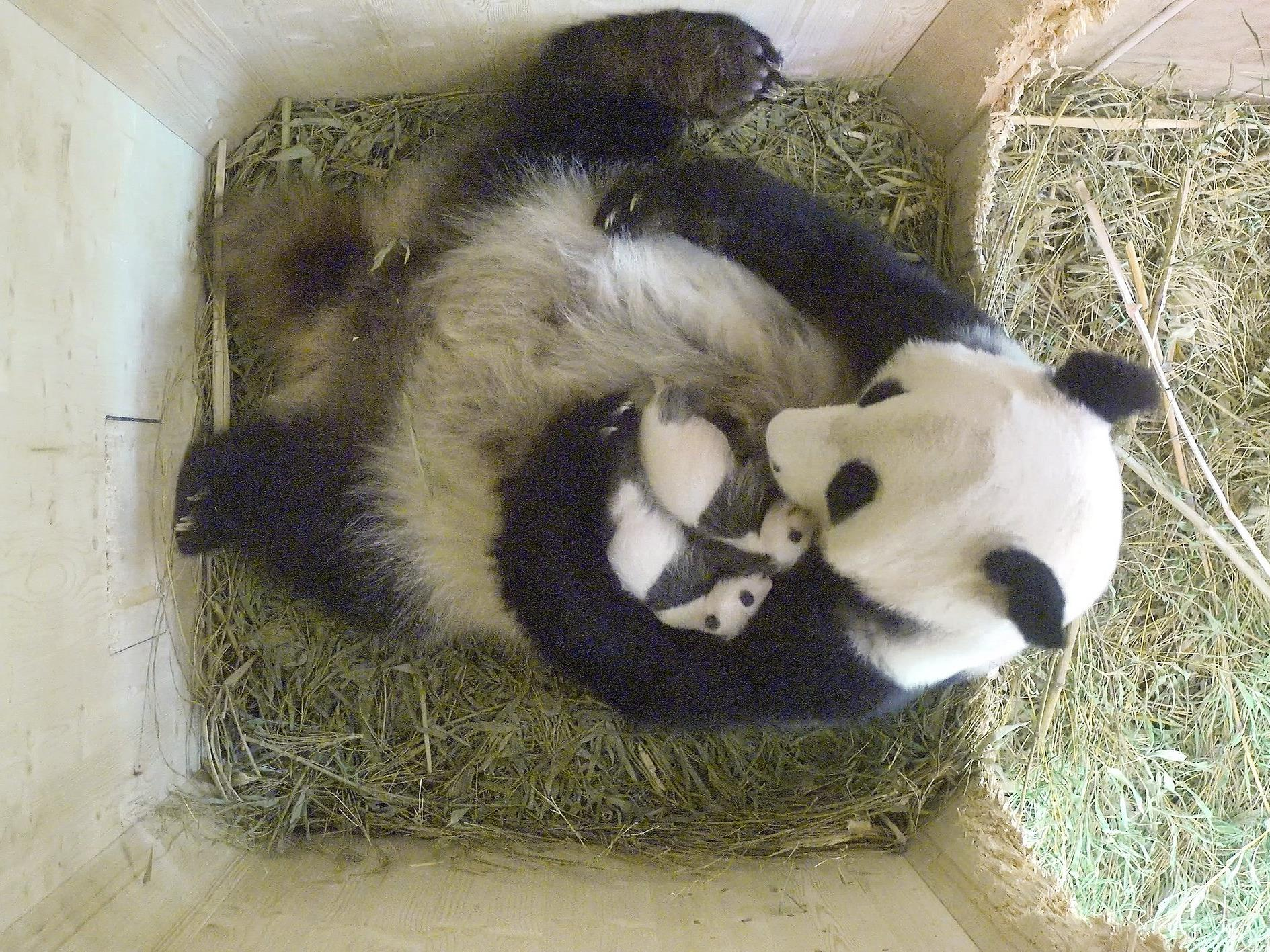 Die Panda-Babys haben bereits schwarz-weißes Fell