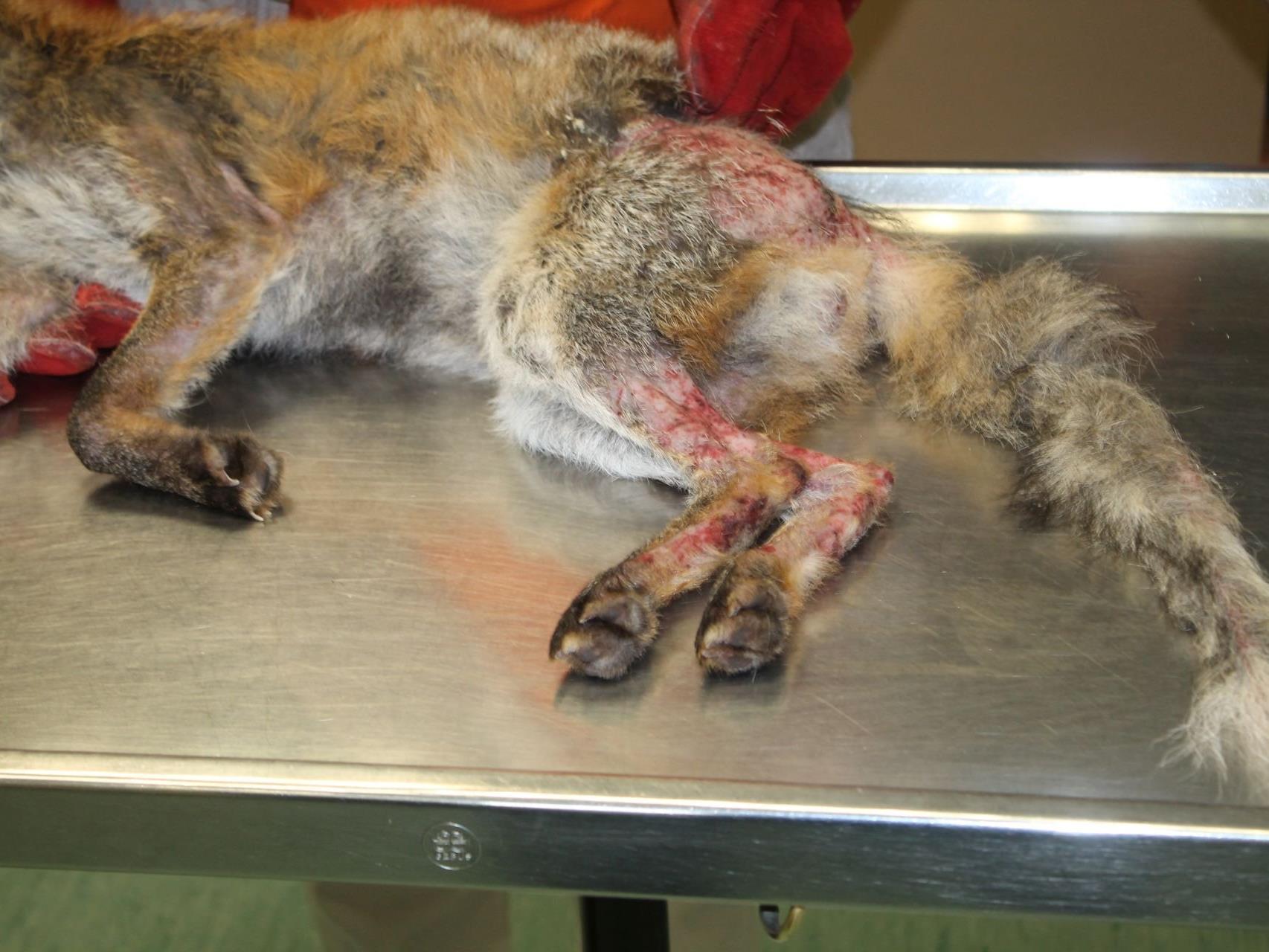 Der Fuchs hatte sich in einer Schlingenfalle verfangen