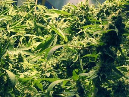 Die Beamten fanden eine Cannabis-Plantage im Keller vor. (Symbolbild)