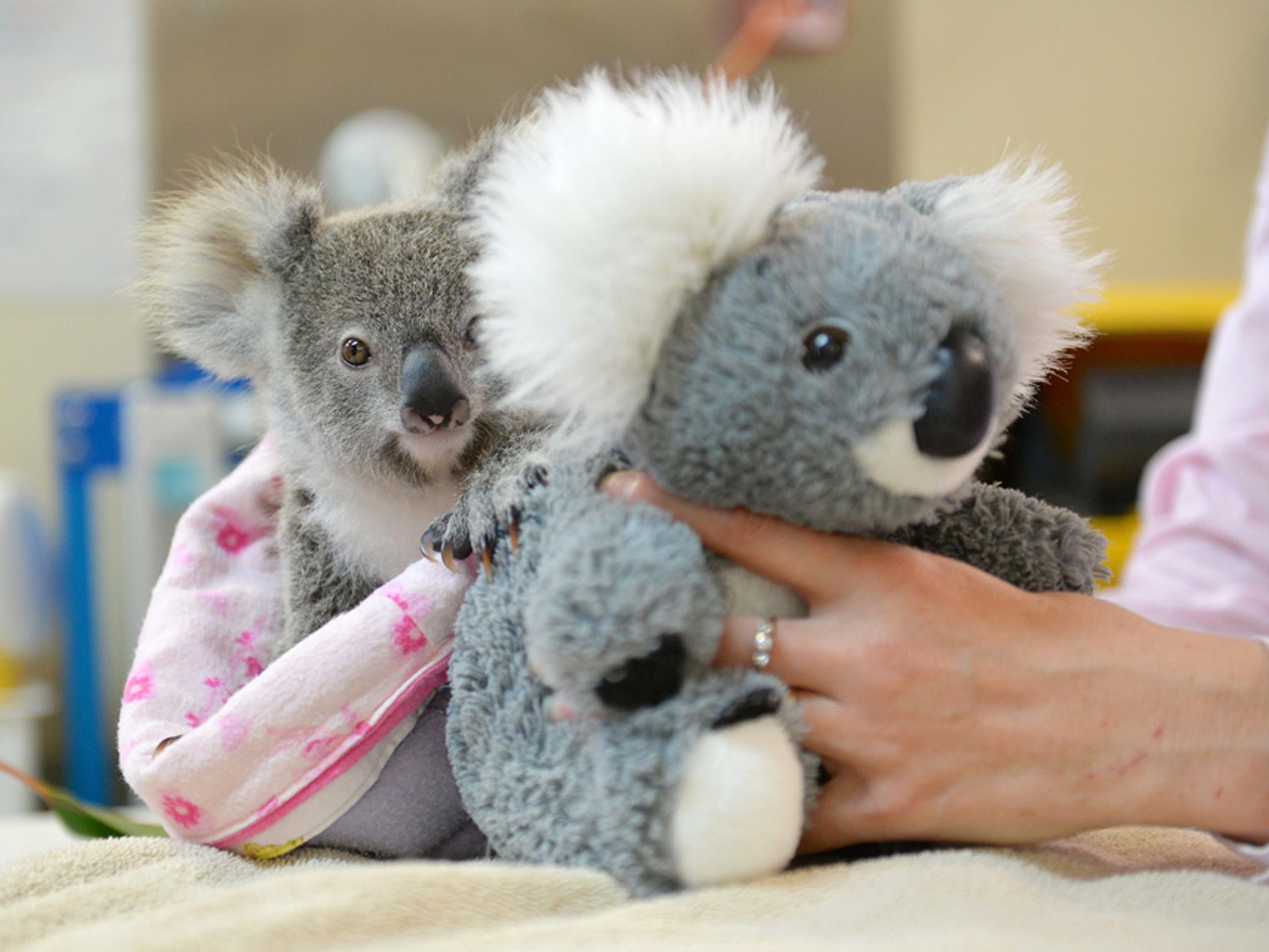 Das kleine Koala-Baby hat einen Plüsch-Freund gefunden.