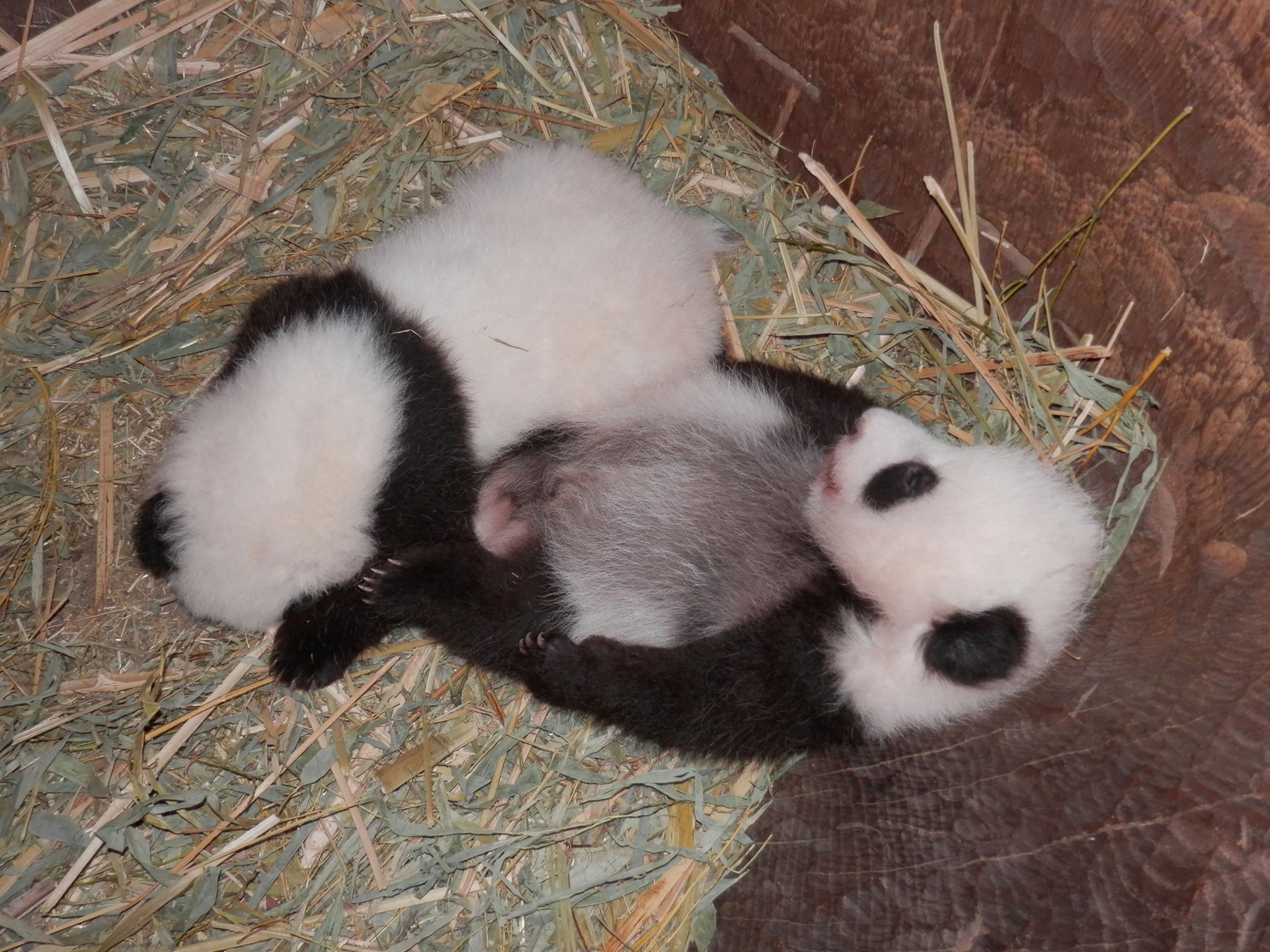 Die Panda-Zwillinge in der Baumhöhle, ihrem neuen Quartier