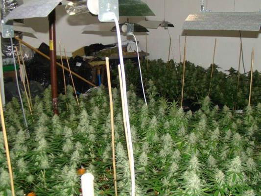 In der Wohnung in Hernals befanden sich rund 180 Marihuanapflanzen.
