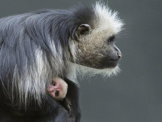 Das Jungtier klammert sich an seiner Mutter fest.