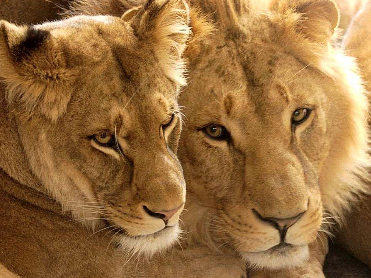 Im Tiergarten Schönbrunn sei ein Löwe ausgebrochen, wie es hieß