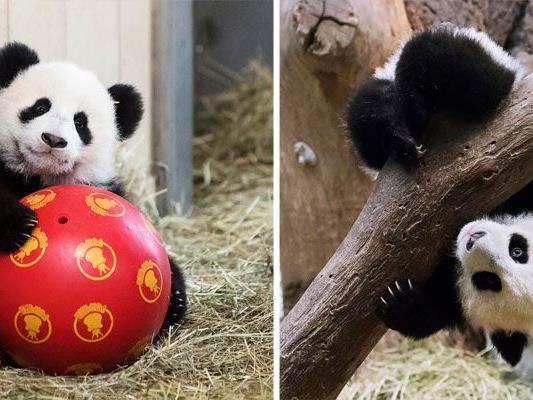So herzig sind die Pandazwillinge beim Spielen in Schönbrunn