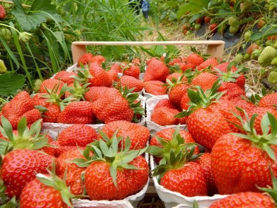 Auch auf Erdbeeren wurden Pestizidrückstände nachgewiesen.