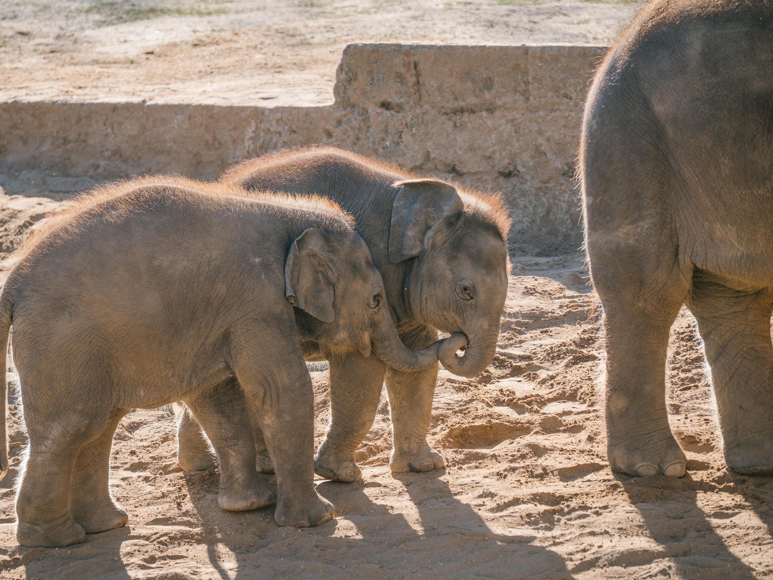 Elefantenbabys im Zoo Hannover. Peta wirft den Pflegern des Tierparks vor, sie würden die Elefanten bei der Dressur quälen.