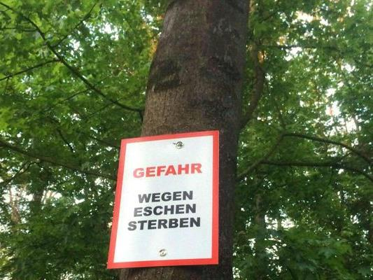 Im Stadtwald von Klosterneuburg mussten wegen des Eschensterbens mehrere Wanderwege gesperrt werden.