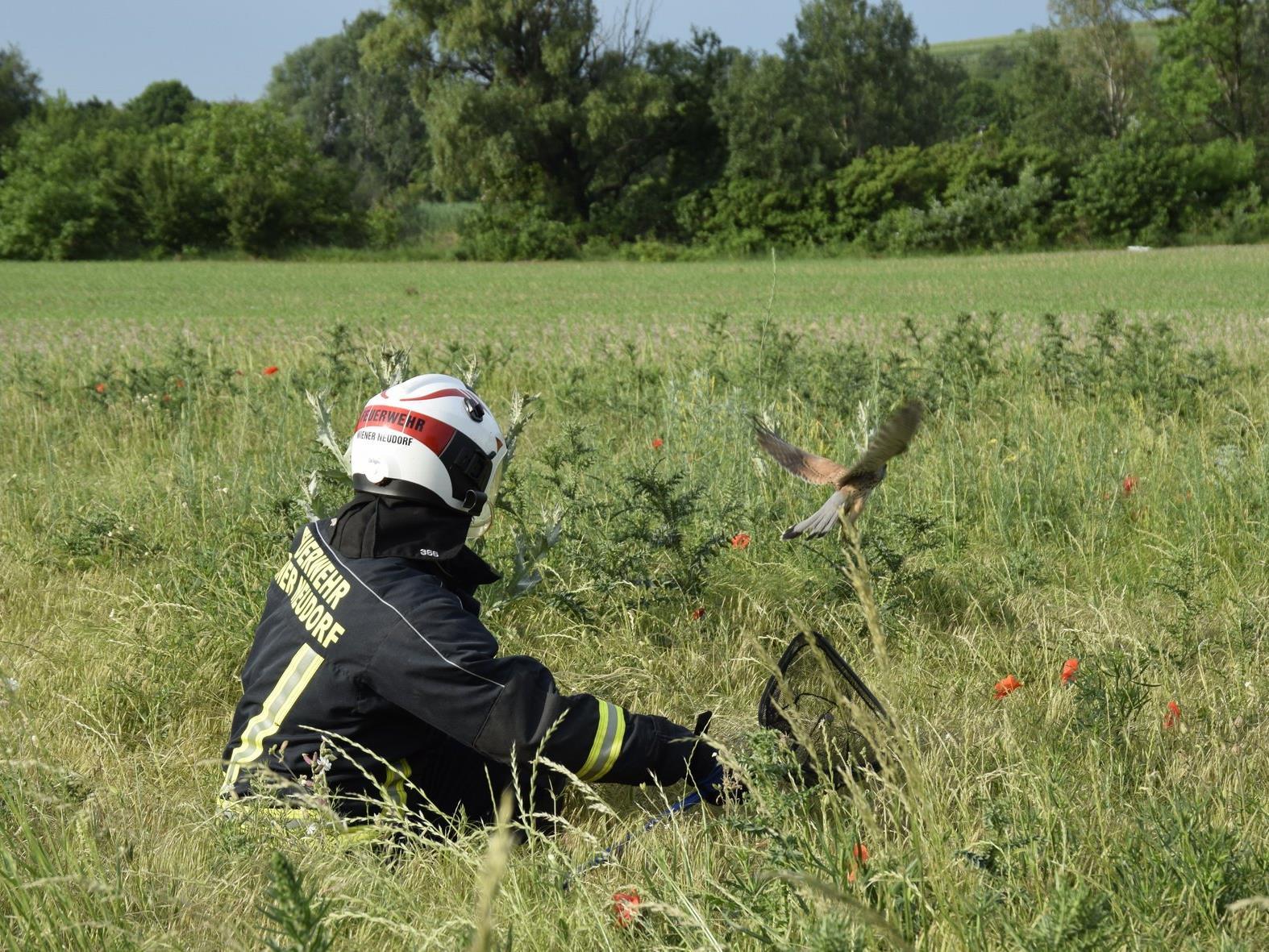 Die Feuerwehr konnte den Habicht in die Freiheit entlassen.