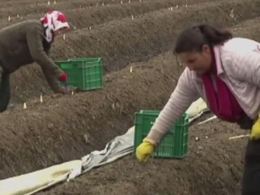 Auch in Dornbirn wird Spargel angebaut.