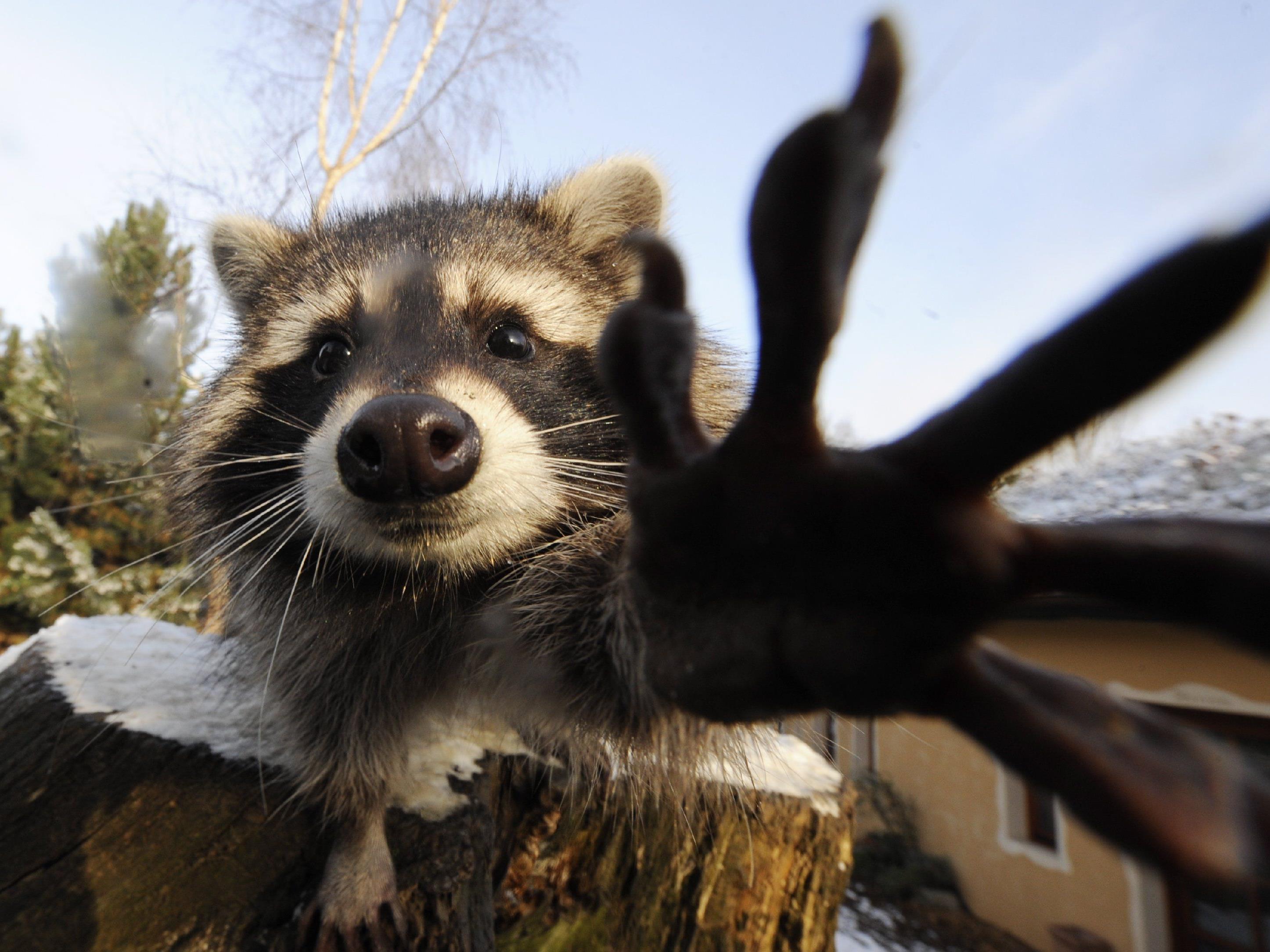 Tiere vermehren sich zu stark - Neues Projekt soll Anreize für Jäger schaffen.