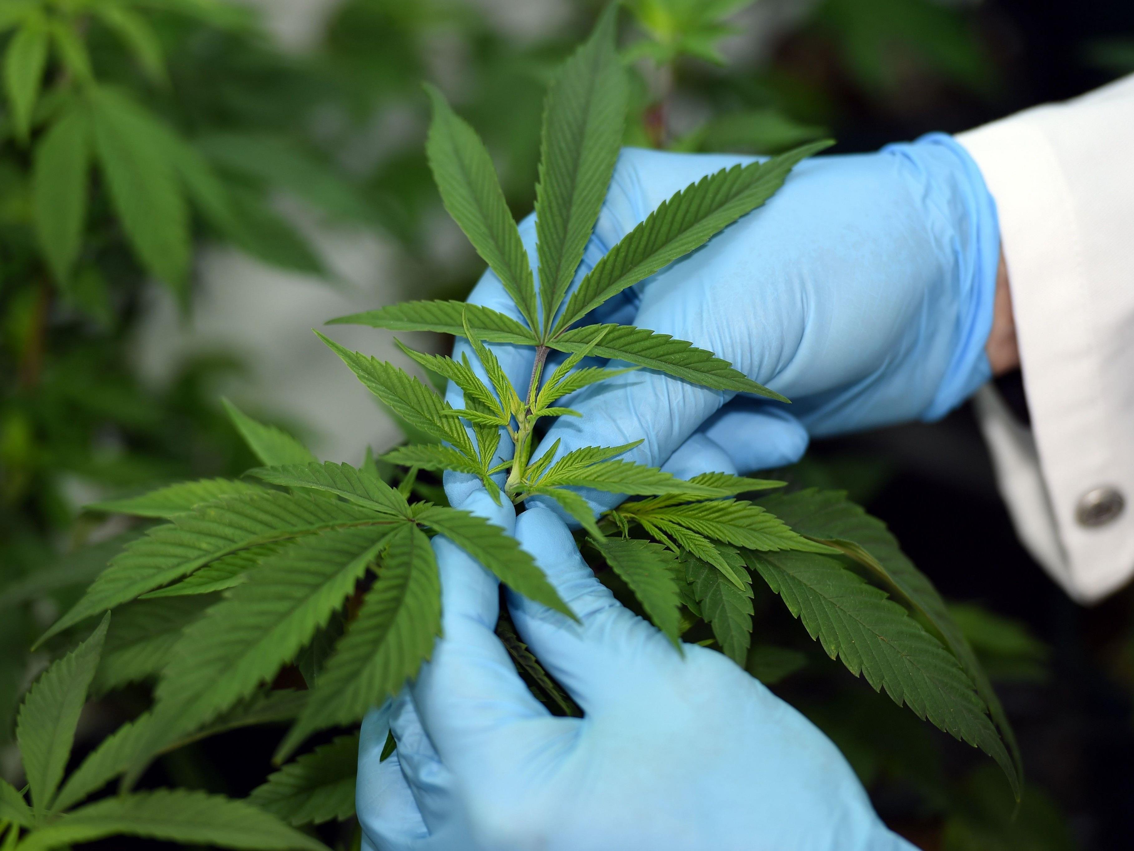 In Göttingen kämpft die Polizei derzeit gegen Cannabis-Pflanzen.