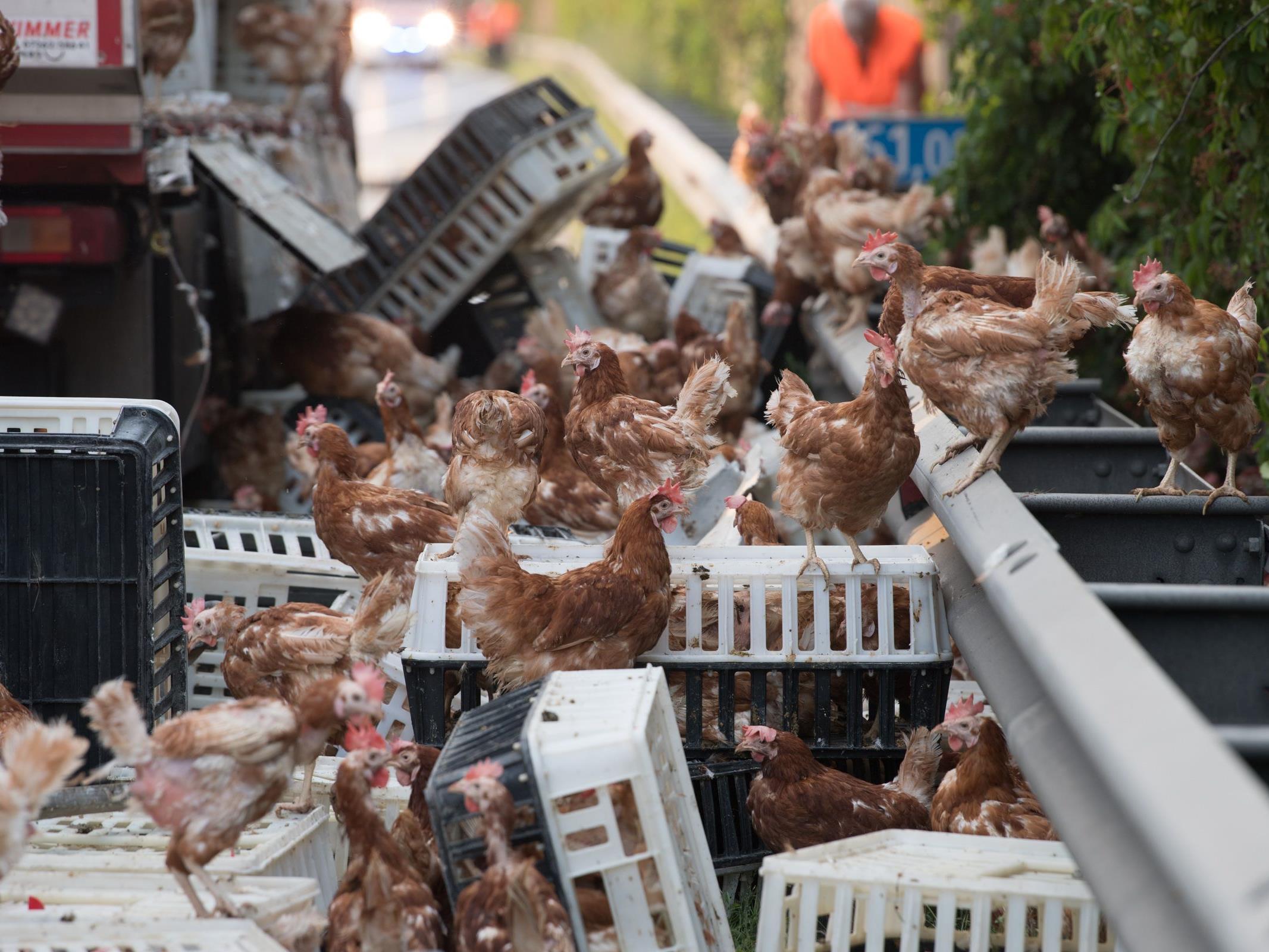 Tausende Hühner befanden sich nach einem Unfall eines Tiertransporters plötzlich auf der Autobahn.