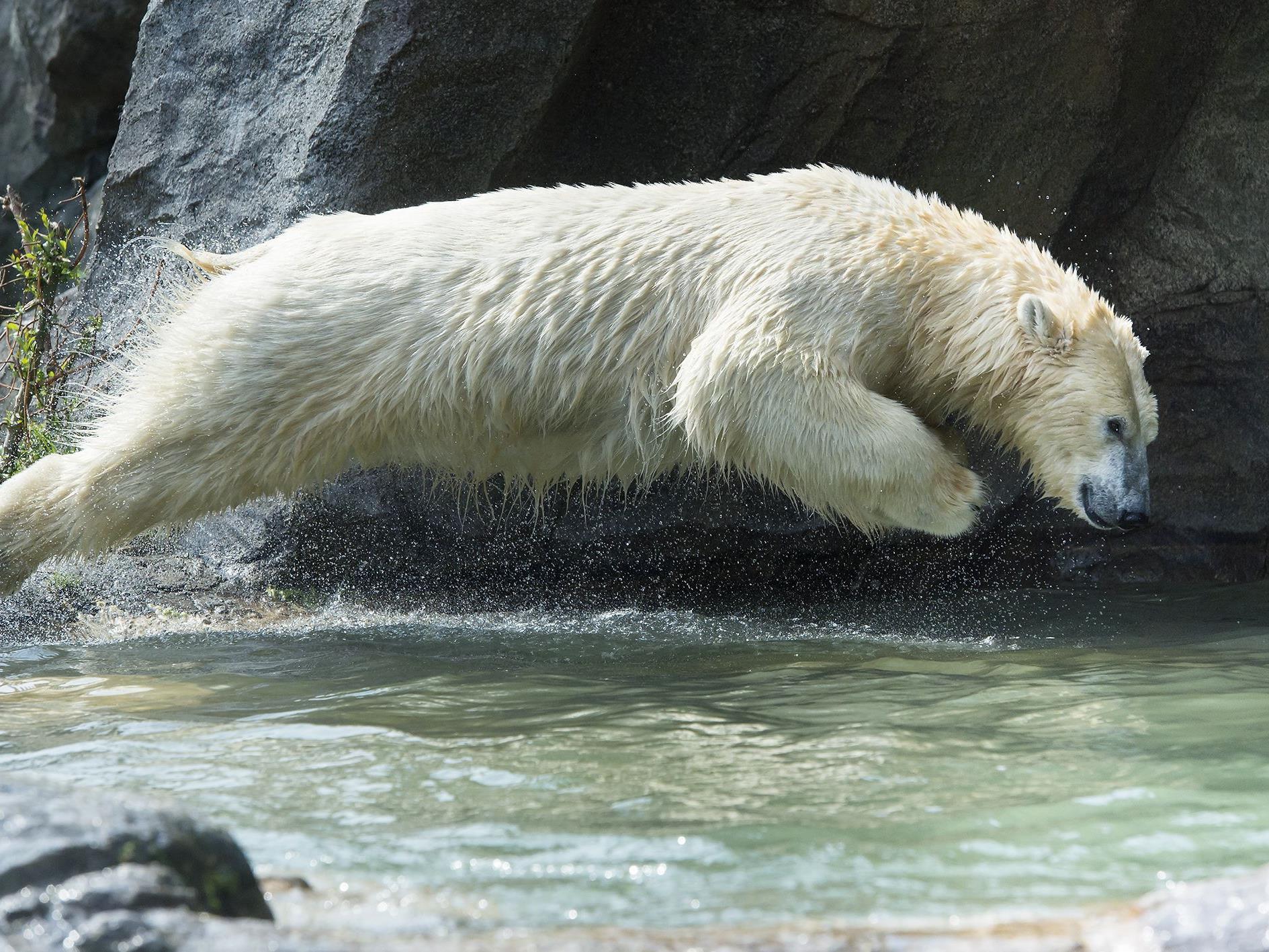 Die Eisbären in Schönbrunn gehen gerne baden