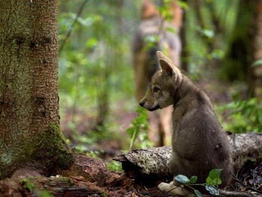 Am Truppenübungsplatz Allentsteig gibt es wieder Wolfnachwuchs.